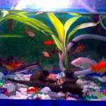 Koi fish tank size , 8 Wonderful Koi Fish Tanks In pisces Category
