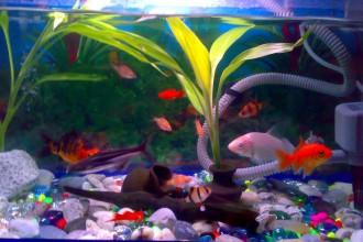 Koi Fish Tank Size , 8 Wonderful Koi Fish Tanks In pisces Category