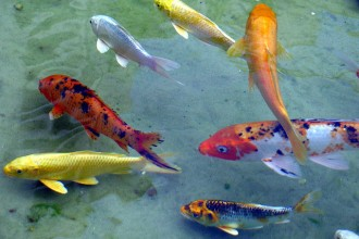 Koi Fish , 8 Lovely Koi Fish Farms In pisces Category