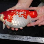 Large Ghost Koi , 8 Amazing Giant Koi Fish For Sale In pisces Category