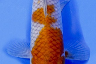 Ochiba Shigure Koi , 8 Beautiful Koi Fish Pond For Sale In pisces Category