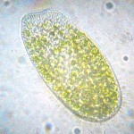 Paramecium Bursaria , 8 Paramecium Images In Cell Category