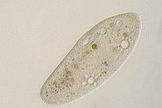 Paramecium HF , 8 Paramecium Images In Cell Category