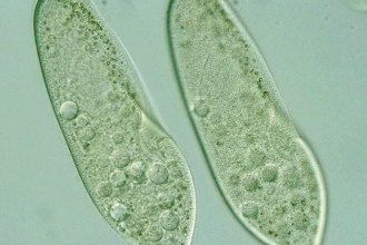 Paramecium Cell in Bug