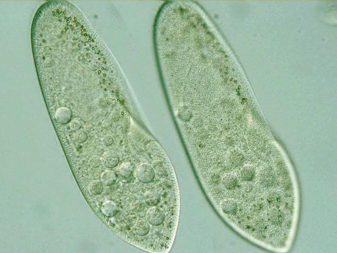 Cell , 8 Paramecium Images : Paramecium Cell