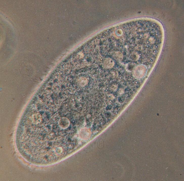 Cell , 8 Paramecium Images : Paramecium Image