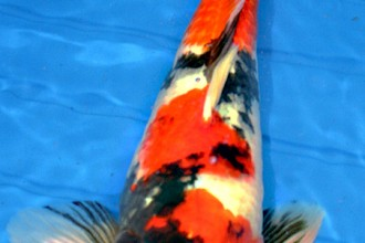 Sanke Koi , 8 Charming Koi Fishes For Sale In pisces Category