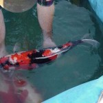 Shoi Koi Food , 8 Beautiful Koi Fish Breeders In pisces Category