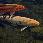 Two Koi Fish , 8 Nice Koi Fish Pricing In pisces Category