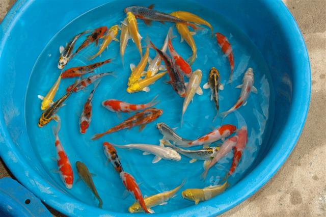 Aquarium fish 8 nice prices for koi fish biological for Butterfly koi fish aquarium