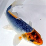 aquarium fish , 8 Nice Koi Fish Wholesale In pisces Category