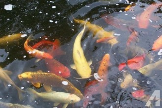 Beautiful Koi Fish , 7 Fabulous Huge Koi Fish For Sale In pisces Category