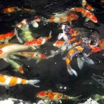 best koi fish , 8 Wonderful Koi Fish Tanks In pisces Category