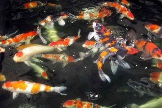 Best Koi Fish , 8 Wonderful Koi Fish Tanks In pisces Category