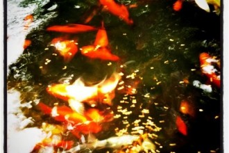 best koi fish in Plants
