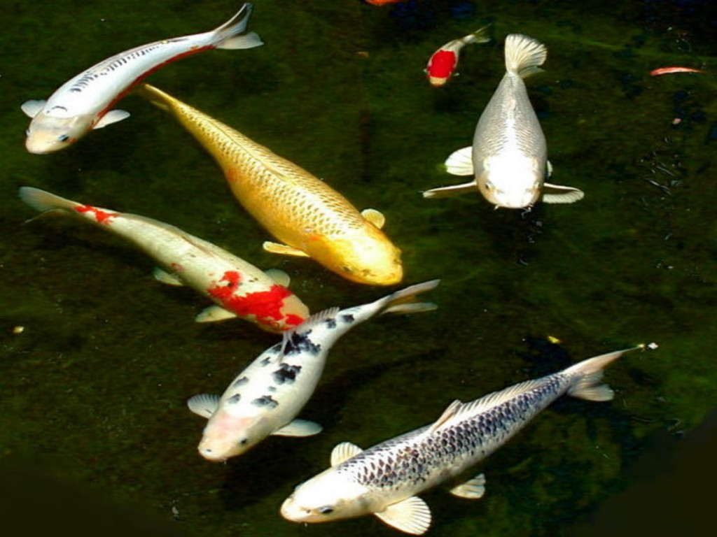 Best koi fish 8 nice koi fish pricing biological for Koi fish net
