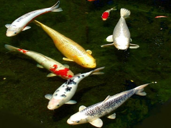 pisces , 8 Nice Koi Fish Pricing :  Best Koi Fish
