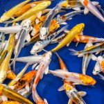 best koi fish , 8 Charming Hikari Koi Fish In pisces Category