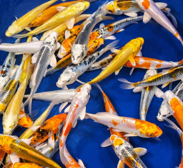 pisces , 8 Charming Hikari Koi Fish :  Best Koi Fish