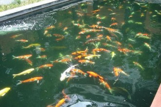 Best Koi Fish , 6 Good Pictures Of Koi Fish Ponds In pisces Category