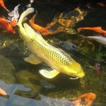 biggest fish , 8 Good Biggest Koi Fish In pisces Category