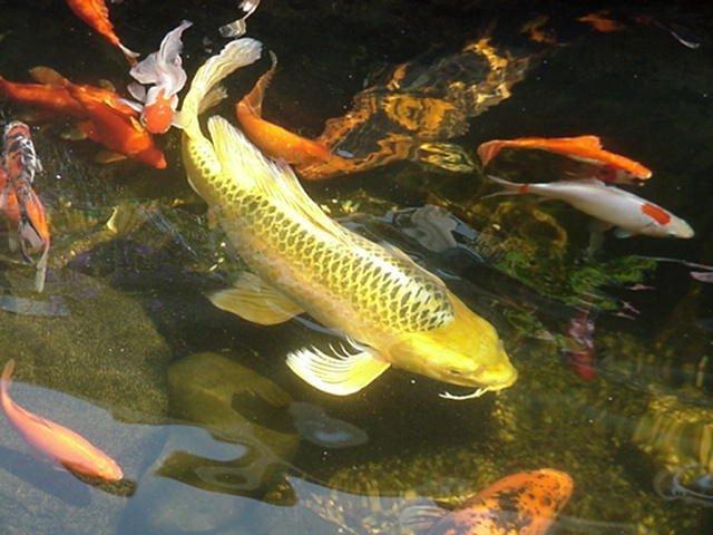 pisces , 8 Good Biggest Koi Fish : Biggest Fish