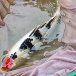 biggest koi fish , 8 Good Biggest Koi Fish In pisces Category