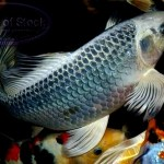 butterfly koi fish , 6 Lovely Koi Butterfly Fish In pisces Category