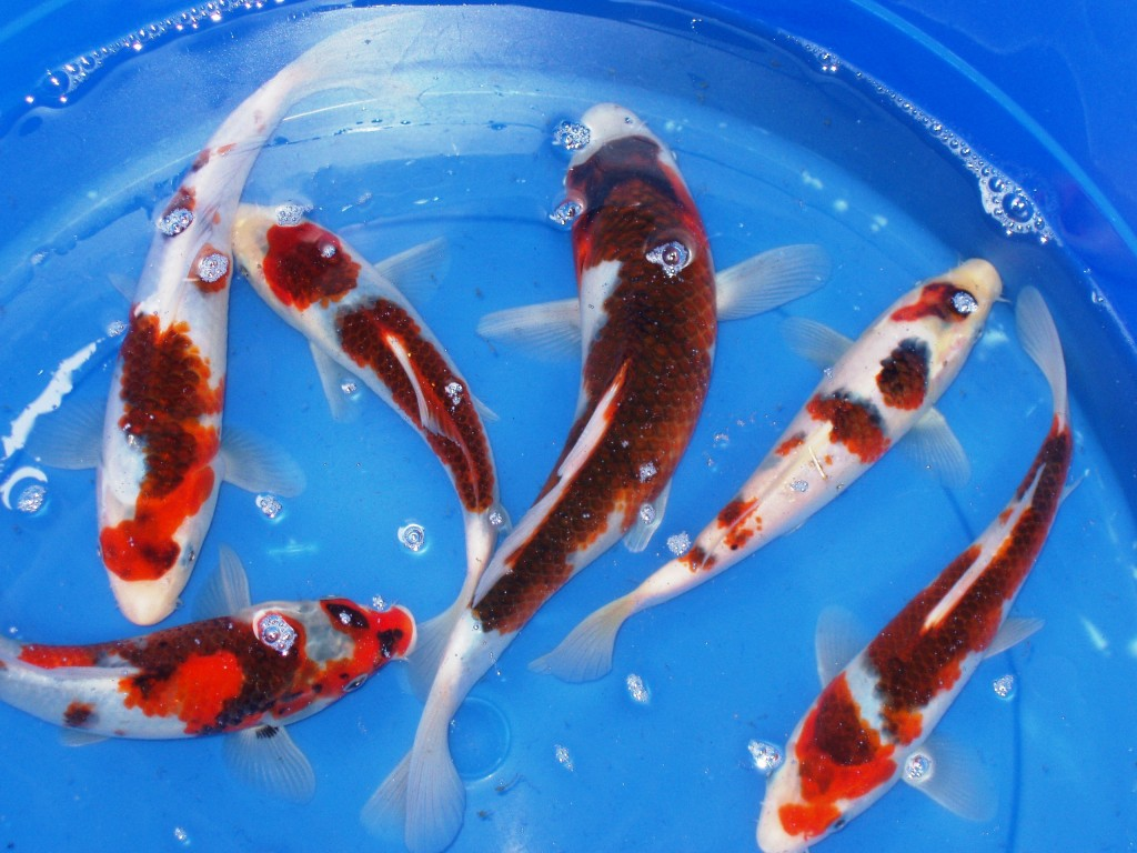 Butterfly koi 8 good live japanese koi fish for sale for Koi fish for sale