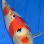 butterfly koi , 8 Charming Koi Fishes For Sale In pisces Category