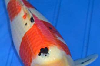 butterfly koi in Microbes