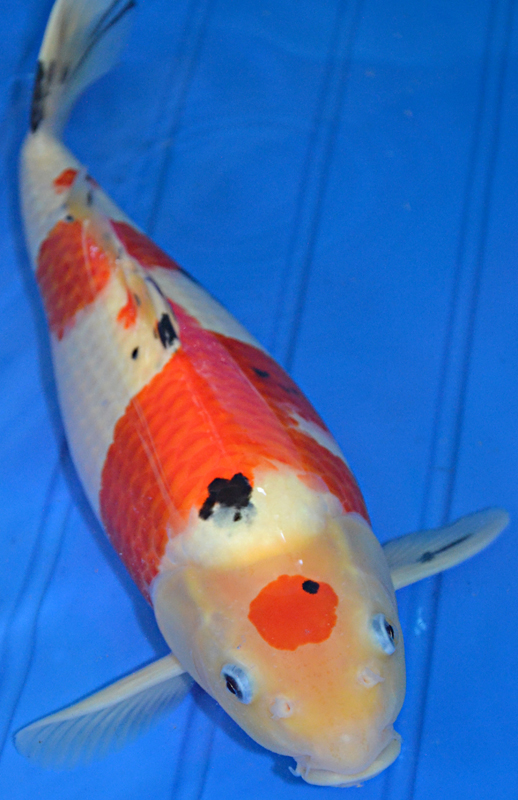 8 charming koi fishes for sale in pisces biological for Large butterfly koi for sale