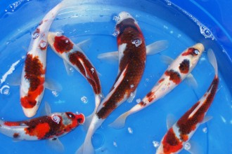 Butterfly Koi , 8 Charming Baby Koi Fish Sale In pisces Category