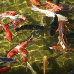 butterfly koi , 8 Lovely Koi Fish Farms In pisces Category