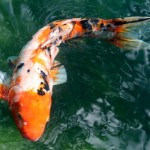 colourful fish , 8 Fabulous Japanese Koi Fish Price In pisces Category