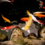 deck chair design style , 8 Charming Koi Fish Ponds Designs In pisces Category