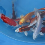 discus fish for sale , 8 Charming Baby Koi Fish Sale In pisces Category