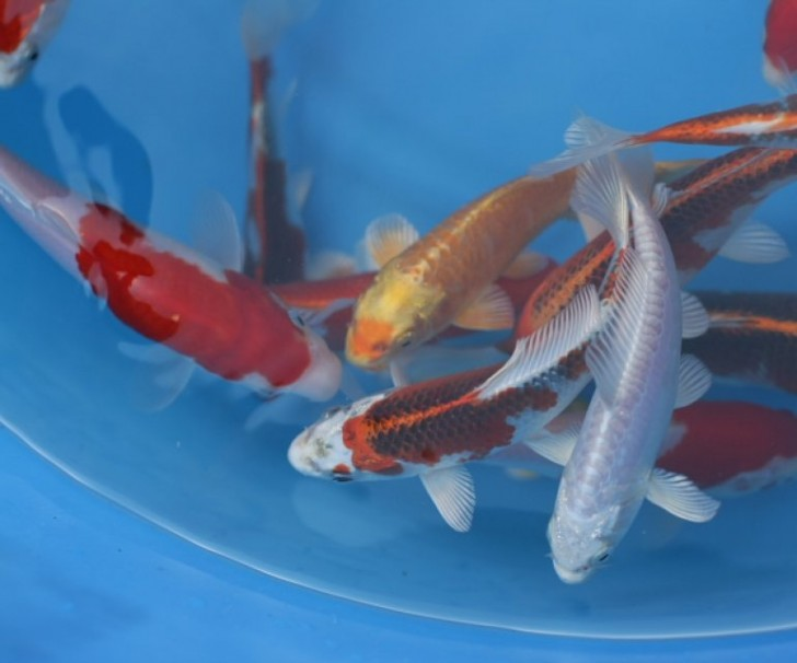 pisces , 8 Charming Baby Koi Fish Sale :  Discus Fish For Sale
