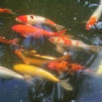 discus fish for sale , 8 Amazing Giant Koi Fish For Sale In pisces Category