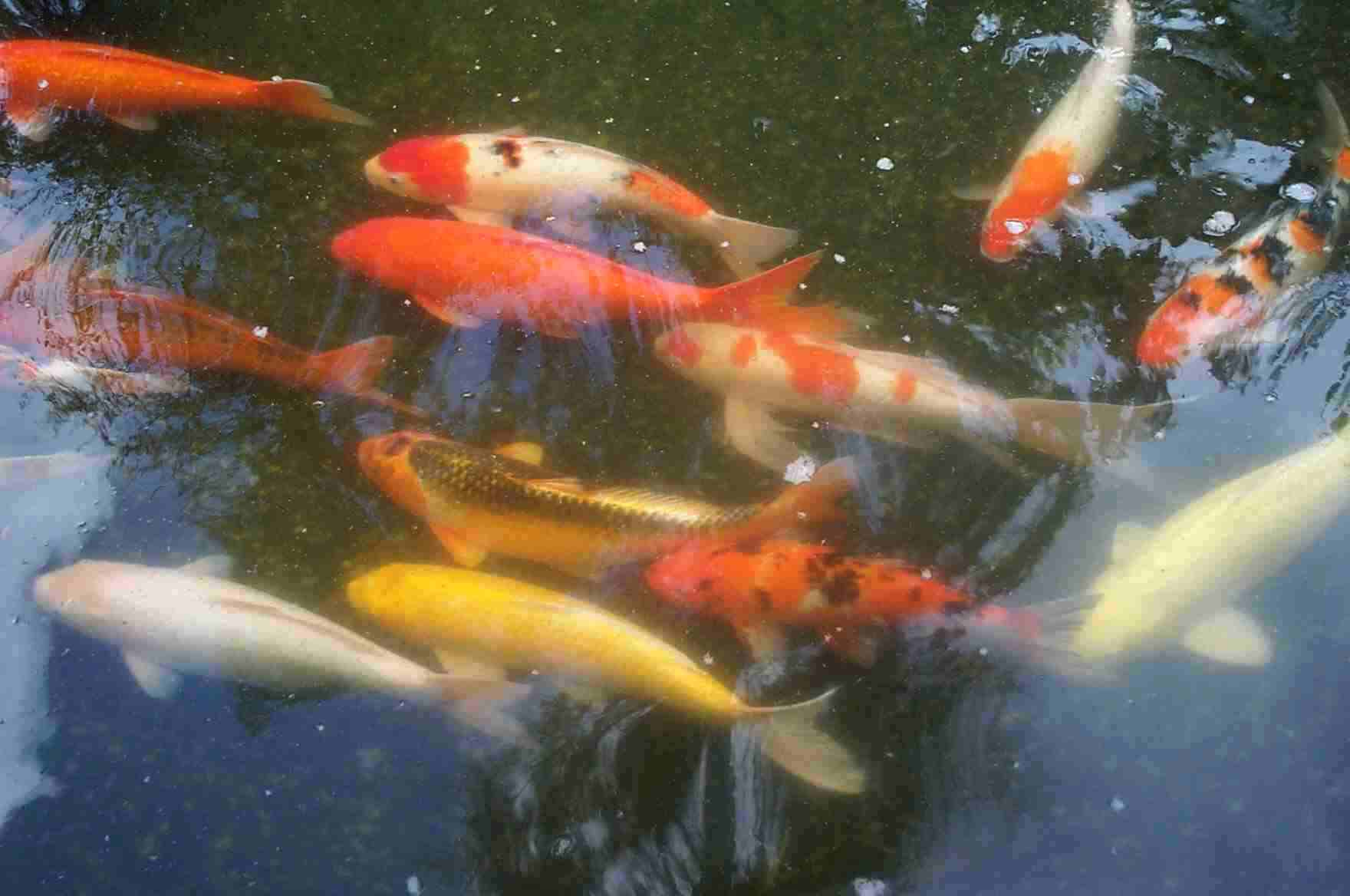 Discus fish for sale 8 amazing giant koi fish for sale for Large butterfly koi for sale