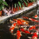 feeding the koi fish , 9 Nice Caring For Koi Fish In pisces Category