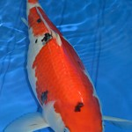 female Sanke koi , 8 Charming Koi Fishes For Sale In pisces Category