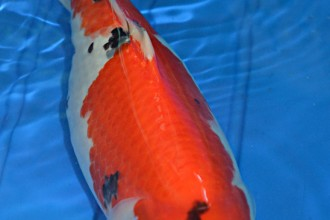 female Sanke koi in Muscles