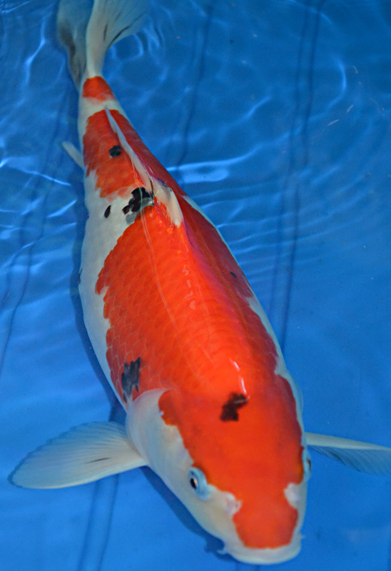 Female sanke koi 8 charming koi fishes for sale for Sanke koi for sale