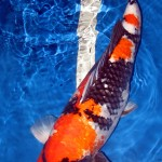 fish breeding , 7 Nice Koi Fish Breeding In pisces Category