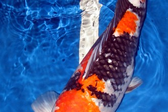 Fish Breeding , 7 Nice Koi Fish Breeding In pisces Category