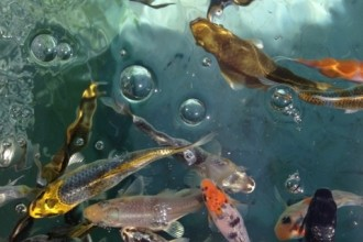 Fish Farming , 8 Lovely Koi Fish Farms In pisces Category