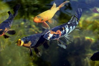 Fish Tank , 8 Charming Koi Fish San Diego In pisces Category