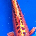 japan koi fish , 8 Good Live Japanese Koi Fish For Sale In pisces Category