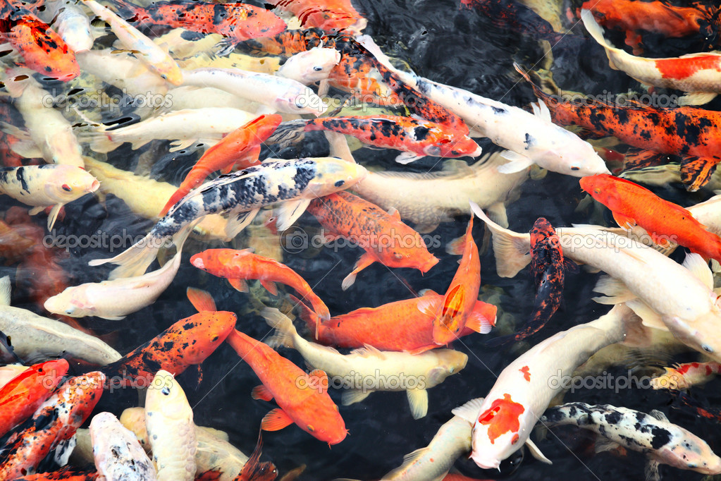 Japan koi fish 8 fabulous japanese koi fish price for Koi fish net